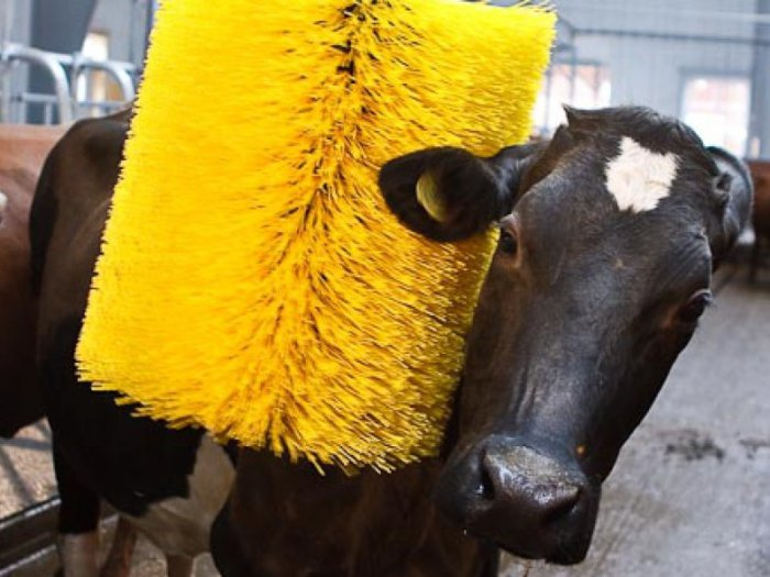Чистка коровы