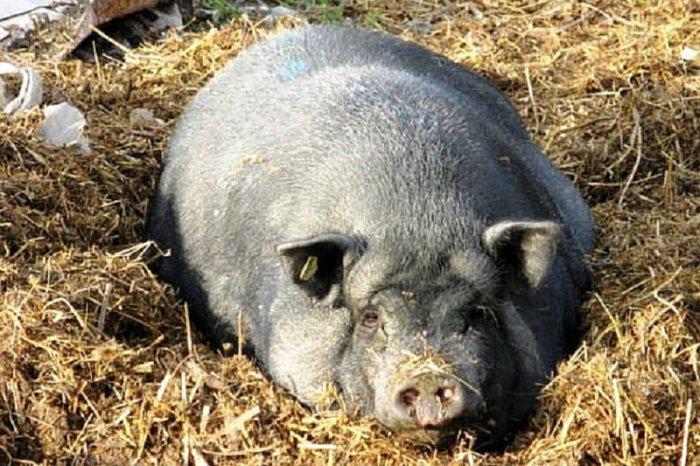 Роды у свиней начинаются чаще всего ночью