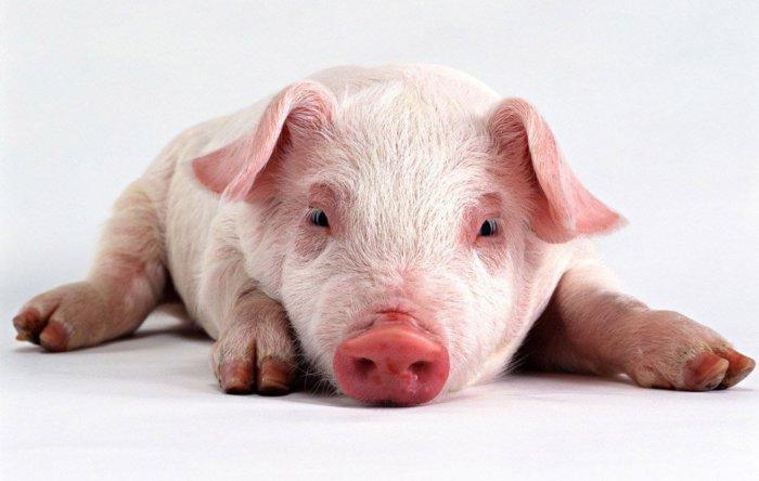 Паралич свиней