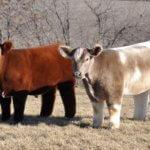 Плюшевые коровы могут иметь разнообразный окрас