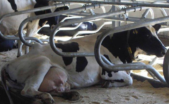 Боксовое содержание коров
