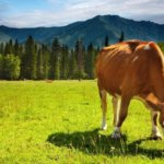 Поглощая зелень на пастбищах, корова съедает цисты