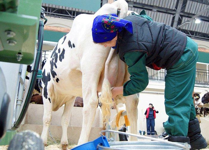 Массаж коровьего вымени