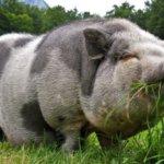 Питание беременной свиньи