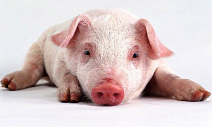Паралич свиньи