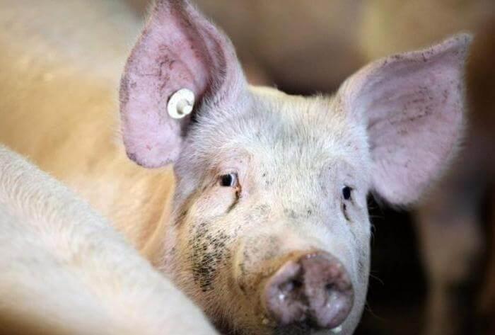 У свиньи нет аппетита