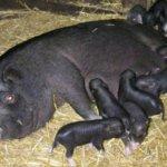 Кормление новорожденных поросят
