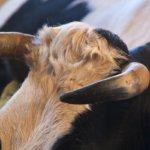 Коровьи рога