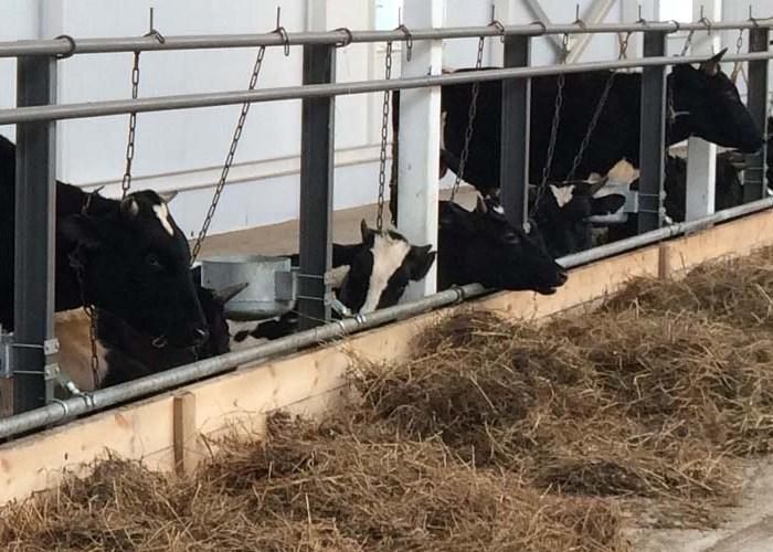 Привязный способ содержания коров