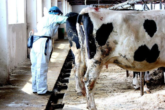Осмотр коровы ветеринаром