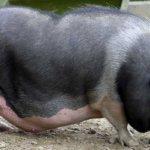 Период беременности у свиней
