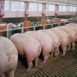 Ускоренный рост свиней