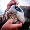 Зубы у коровы