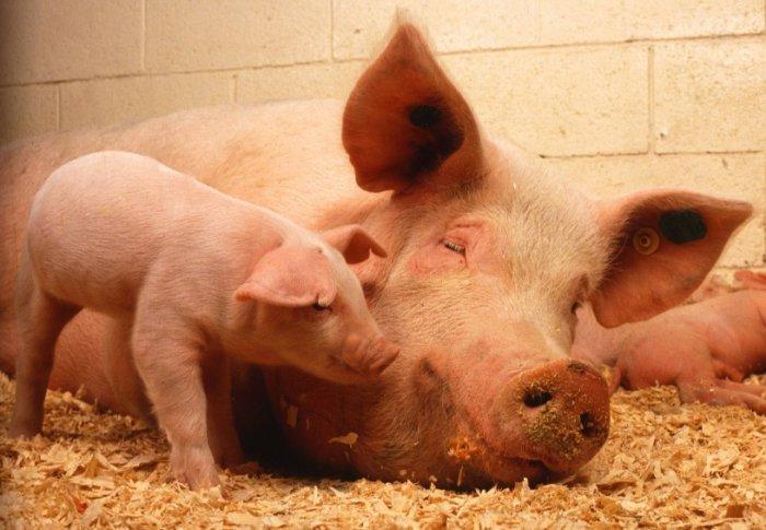 Содержание свиней в чистых и теплых помещениях