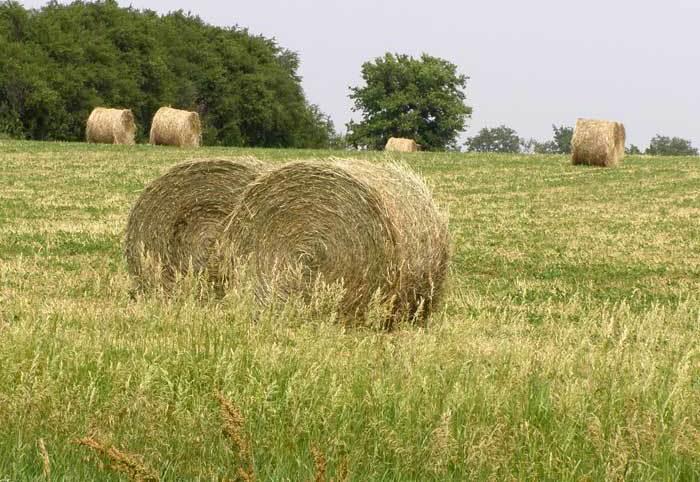 Свежее сено для телят
