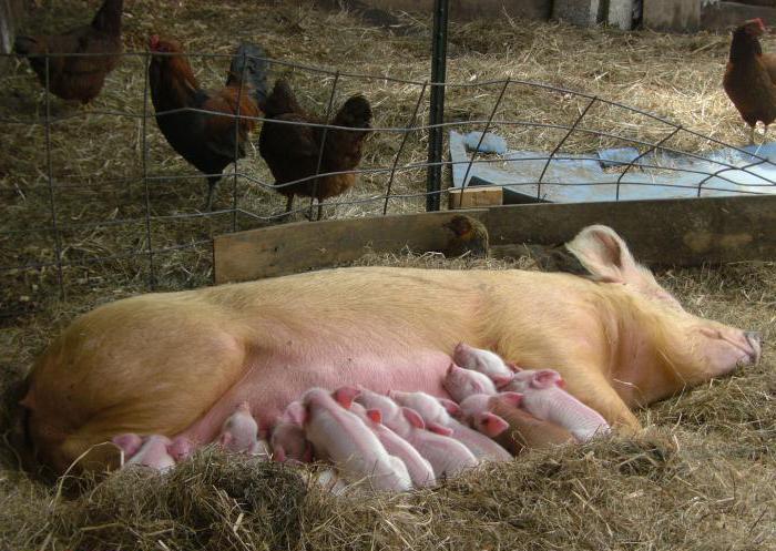 Супоросные свиноматки
