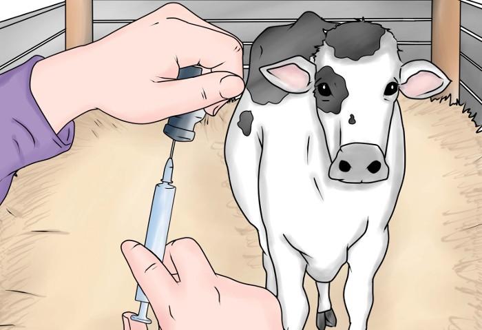 Инъекции корове
