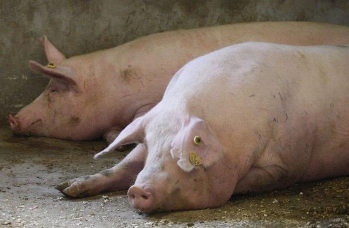 Кожные заболевания свиней