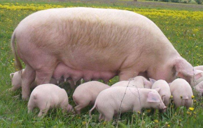 Литовская белая свинья