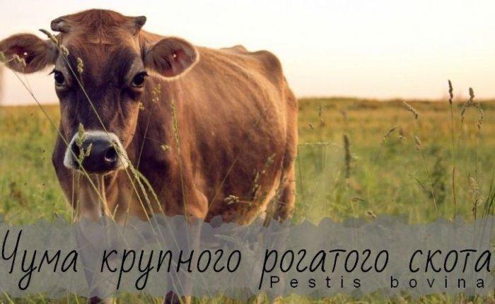 Чума у крупного рогатого скота