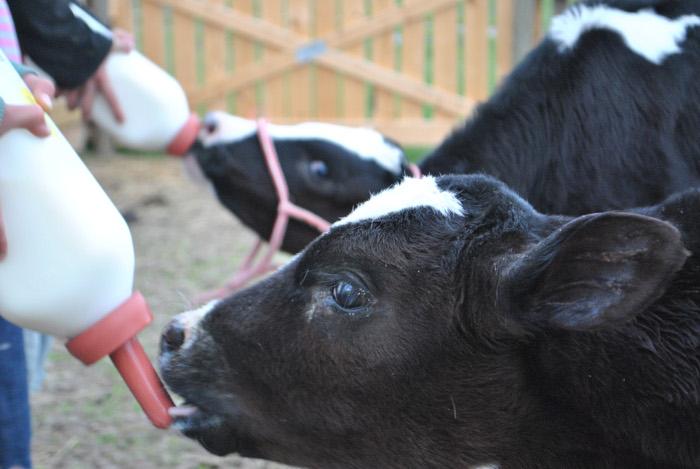 Ацидофильное молоко для больного теленка