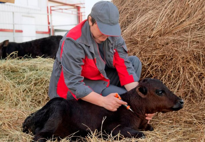 Вакцинация теленка
