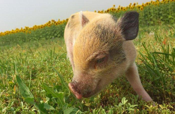 Свиньи могут полакомиться ядовитыми травами