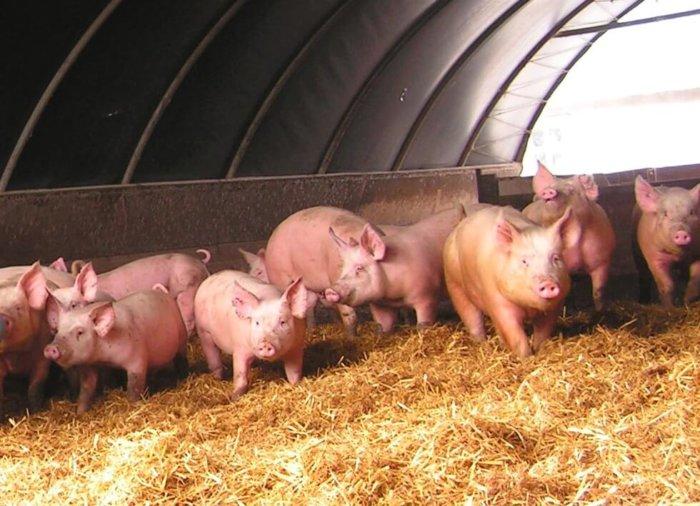 Содержание свиней по технологии глубокой подстилки