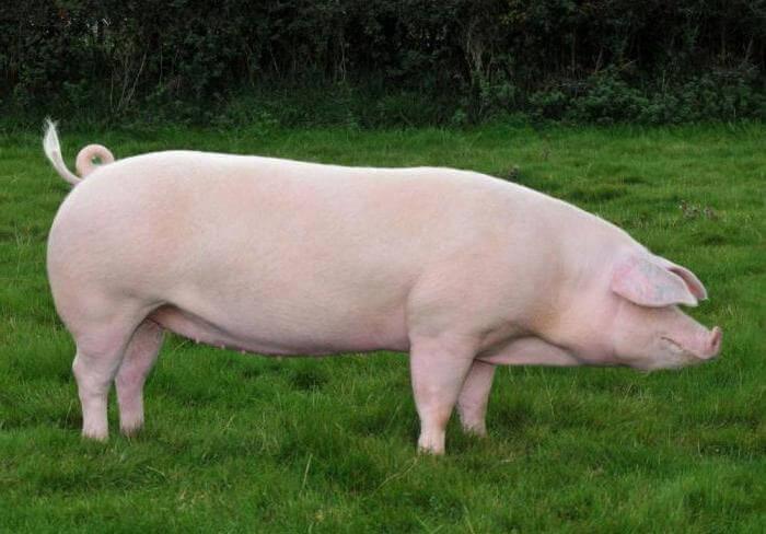 Мясная порода свиней