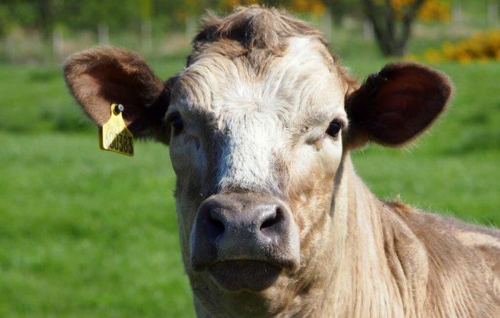 Отсутствие жвачки у коровы