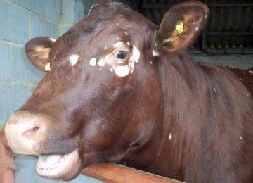 Лишай у коров