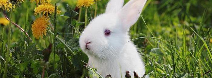 Кролик среди одуванчиков