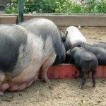 Вьетнамские вислобрюхие свиньи едят