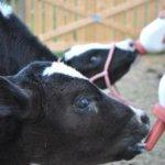 Кормление телят заменителем цельного молока