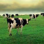 Стадо коров на лугу