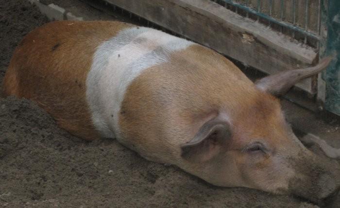 Диспепсия у свиньи