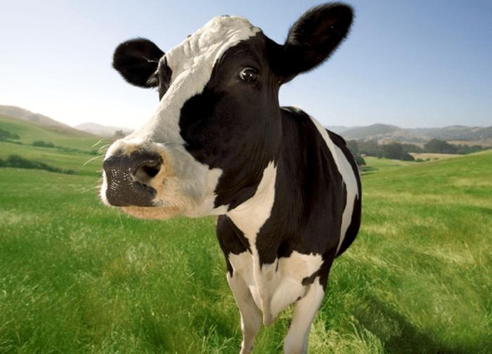 Больная корова