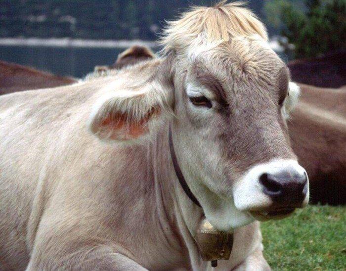 Корова угнетена