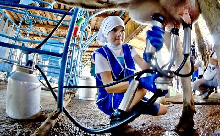 Доение первотельной коровы аппаратом