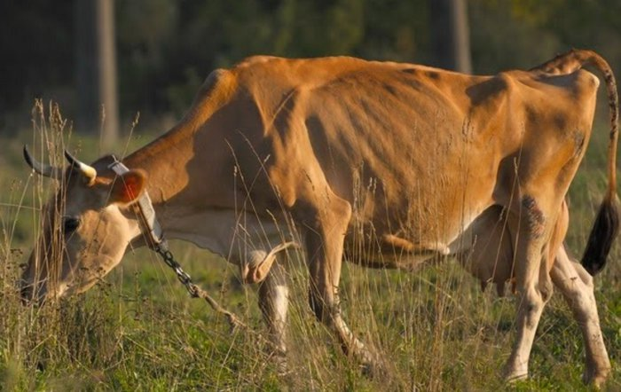 Бруцеллёз у коровы