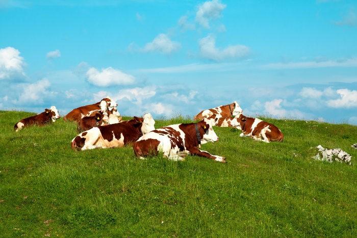 Выпас скота исключительно на проверенных пастбищах