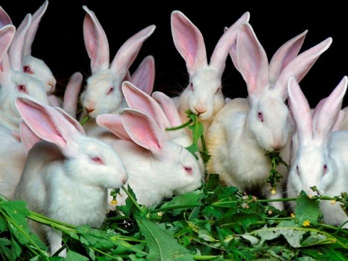 Одуванчики дают кроликам только в составе травяных смесей