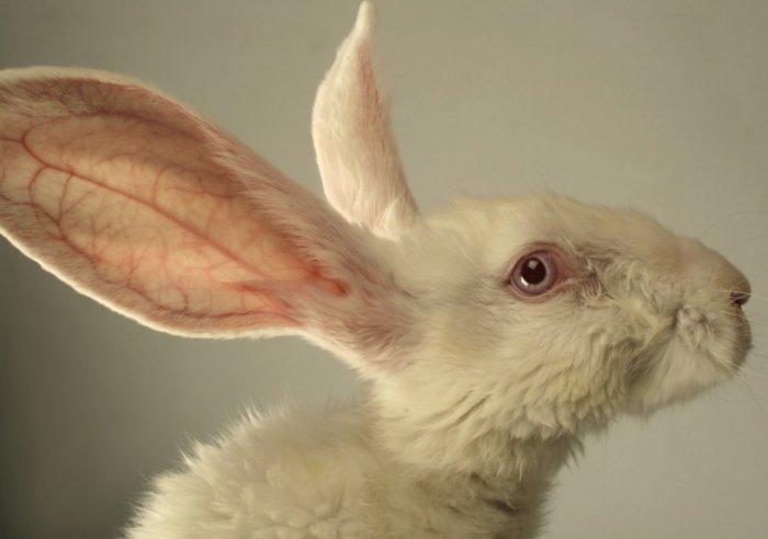 Кролик с инфекционной простудой