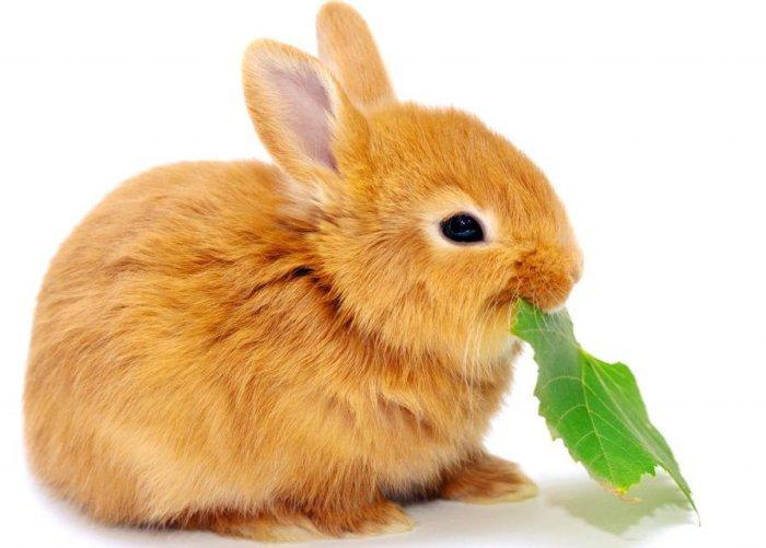 Меняются вкусовые пристрастия беременных крольчих
