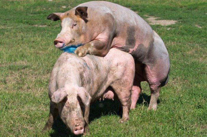 Способ спаривания свиней