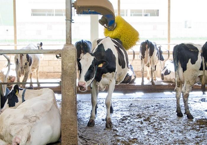 Зуд у коров