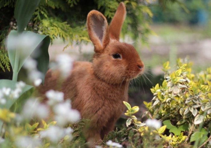 Тысячелистник можно давать кроликам в сборе