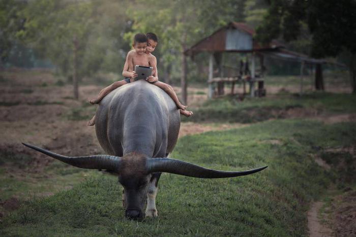 Индийские буйволы используются в качестве тягловой силы