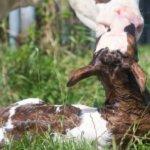 Признак гипоксии - теленок не встает