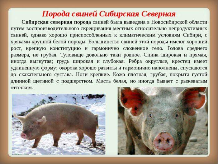 Северная сибирская свинья
